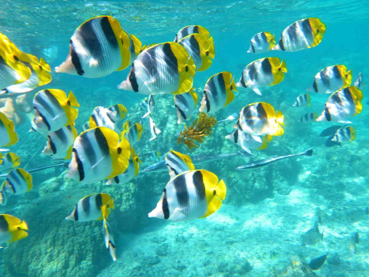 Kauai Butterfly Fish