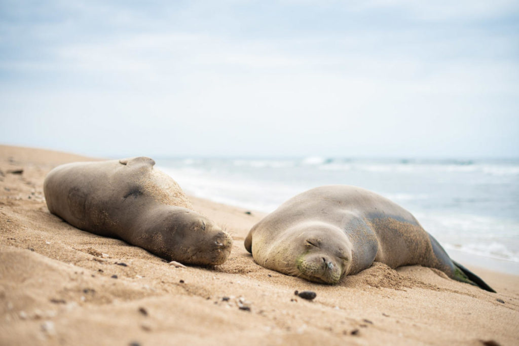 kauai monk seals